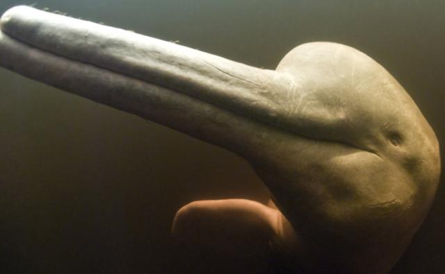 Close-up of a Amazon river dolphin's head