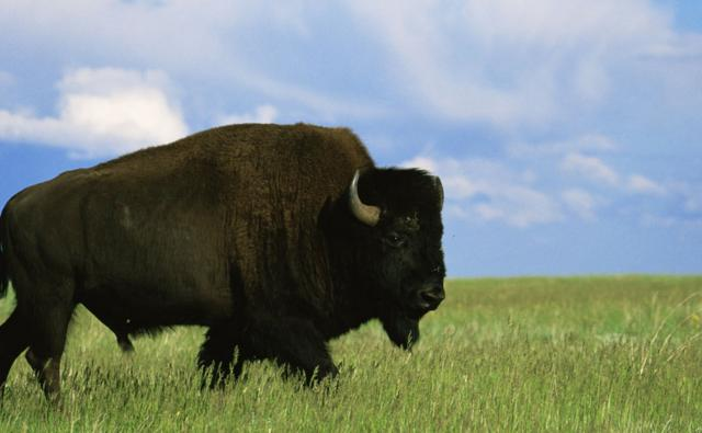 An American bison bull