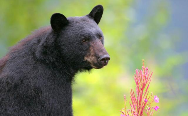 Portrait of a black bear