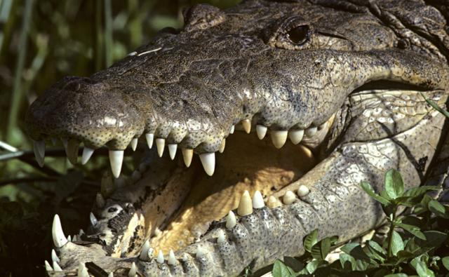 the american crocodile Adaptations of the american crocodile are both behavioral and physical behaviorally, they are characterized as being shy, which saves them from their main predators.