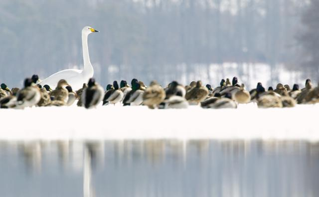 Whooper swan and mallard ducks on the edge of a lake