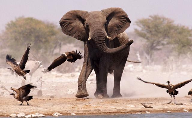 African elephant and whitebacked vultures by a waterhole