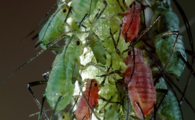 Rose aphids on a plant stem