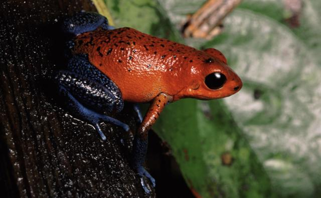 The strawberry poison arrow frog showing red colour