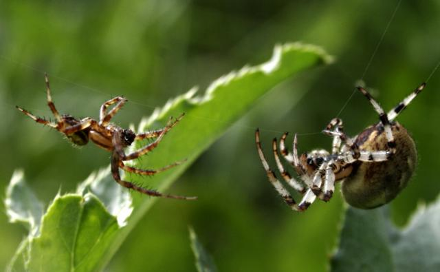 Two spiders making a web on plant