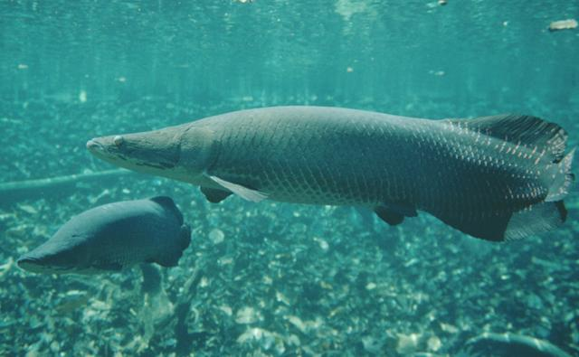 Giant pirarucu fish swimming in a flooded forest