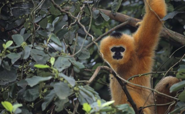 Black-crested gibbon in tree foliage looking towards the camera