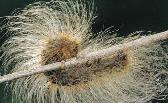 Tiger moth caterpillar with protective hairs