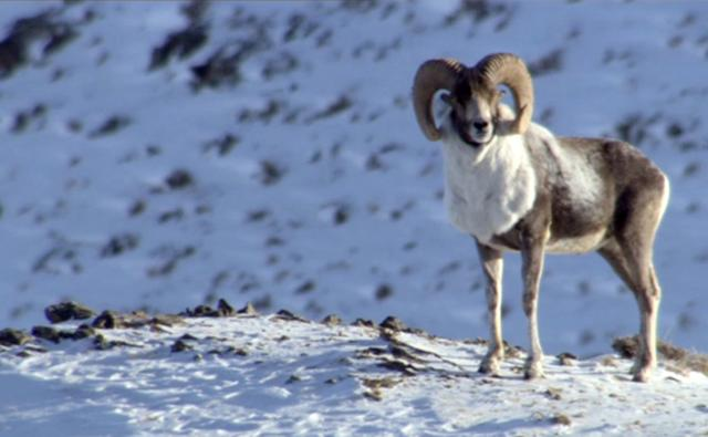 Argali sheep standing on snow covered mountain