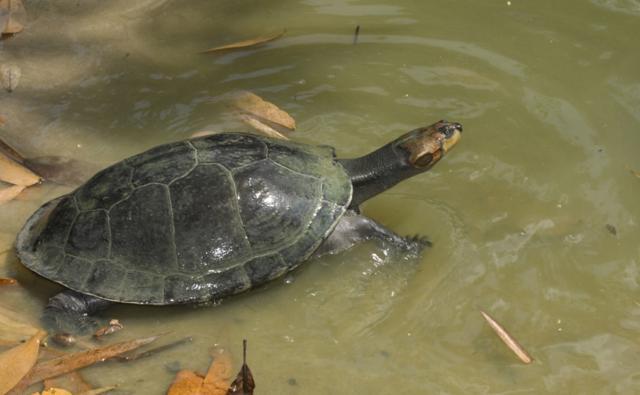 Giant arrau turtle in shallow water