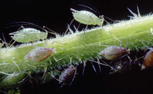 Green aphids on a plant stem