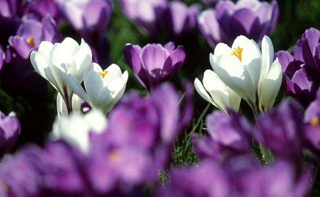 Several crocus flowers backlit