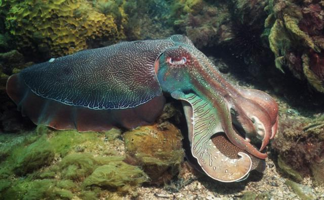 A giant cuttlefish breeding male on seabed