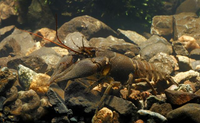 White-clawed crayfish in Ballinderry river,  Republic of Ireland