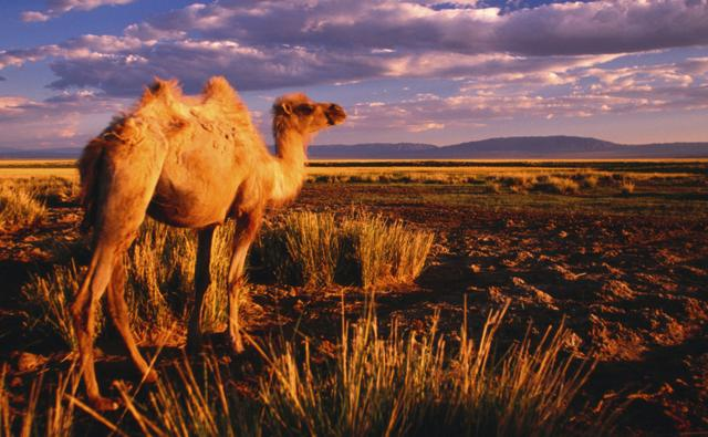 Bactrian camel walking in the desert