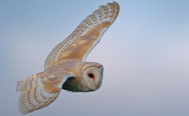 Barn owl in flight (c) Simon Richardson
