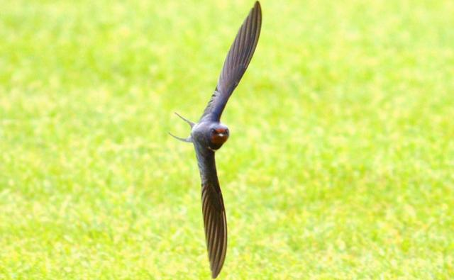 Swallow flying low over grass towards camera (c) Jacky Stuart