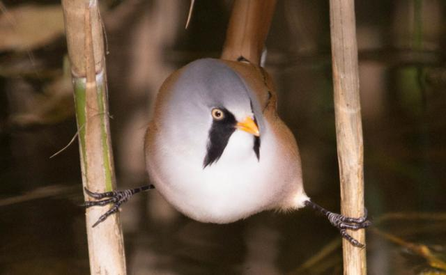 A bearded tit perched perched between two reeds (c) Ian Hull