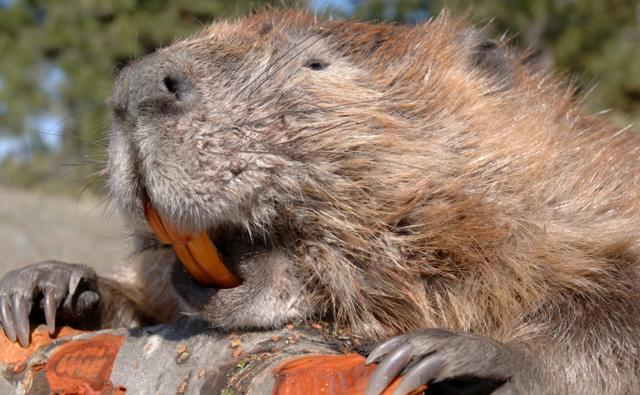 Portrait of an American beaver on a log, showing its teeth