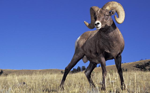 Bighorn sheep standing in Yellowstone National Park