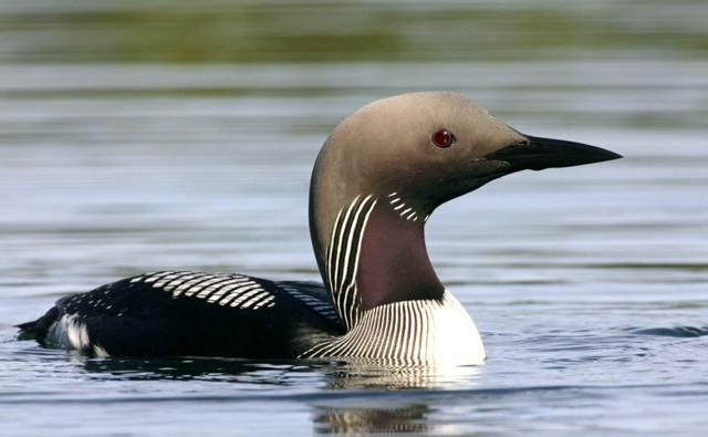 Black-throated diver on water