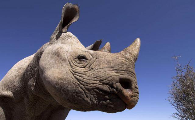 Profile of a black rhinoceros