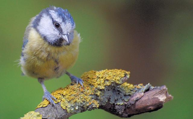 Blue tit on a branch (c) Leonard Davis