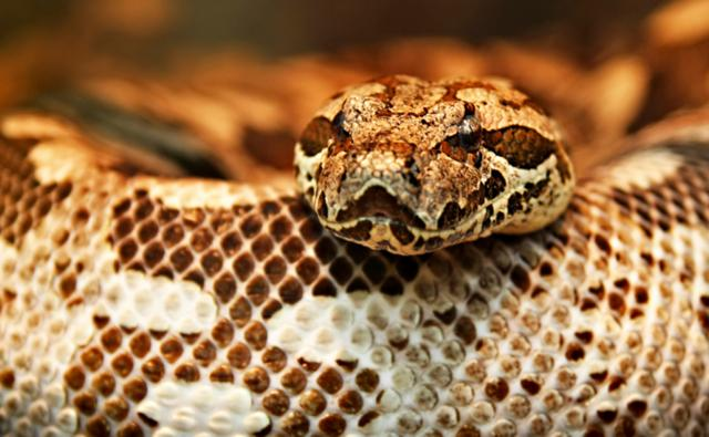Close up on the head of a Dumeril&#039;s boa
