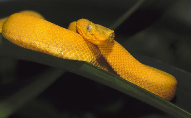 Gold eyelash viper coiled on palm leaf