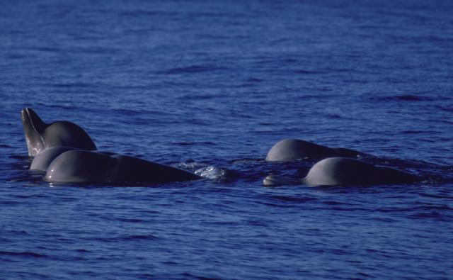 A pod of bottlenose whales