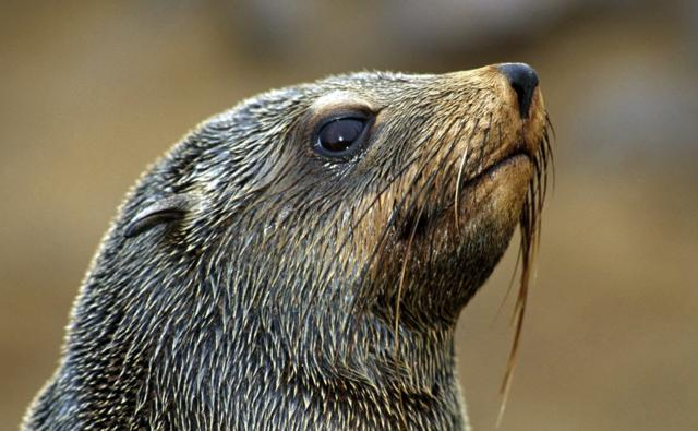 Portrait of a brown fur seal