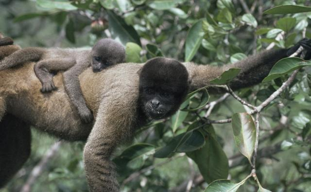 Woolly monkey carrying a baby on its back through the trees
