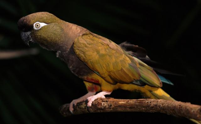 Patagonian conure, a burrowing parrot, perched on a branch