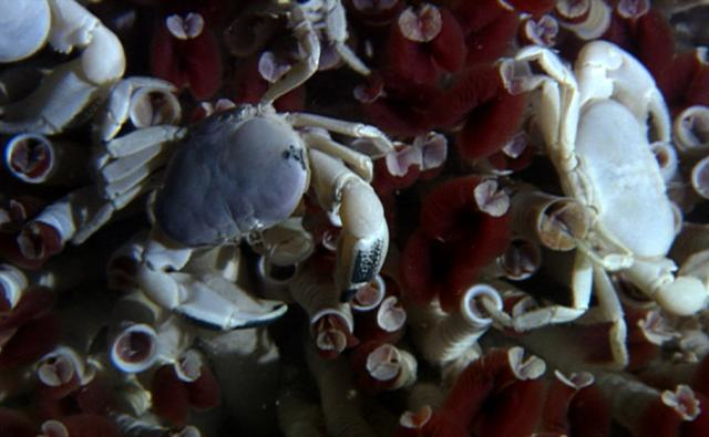 A group of hot vent crabs
