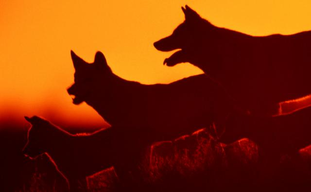 Dingo pack at sunset