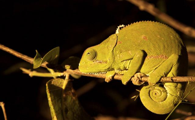 Cape dwarf chameleon in a tree at night