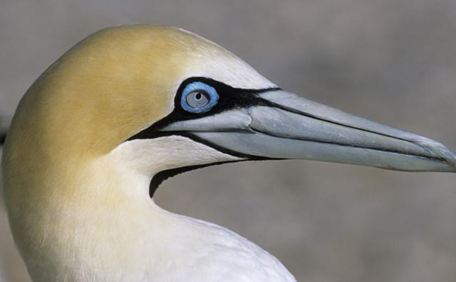 Close-up profile of cape gannet's head