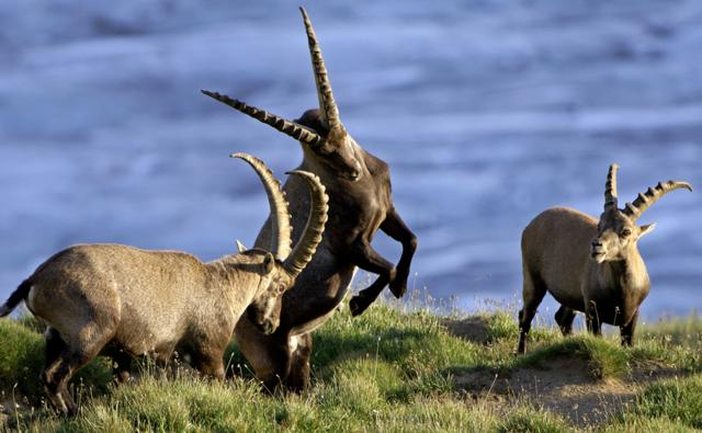 A group of ibexes fighting