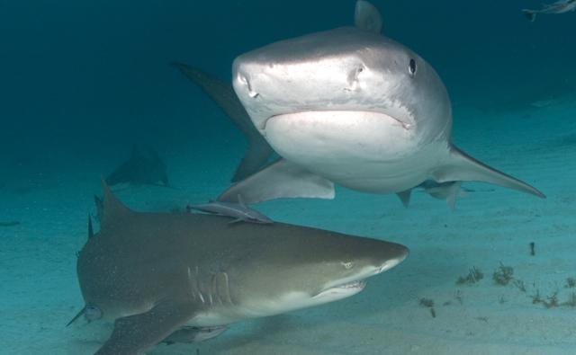 A lemon shark and tiger shark in the Bahamas