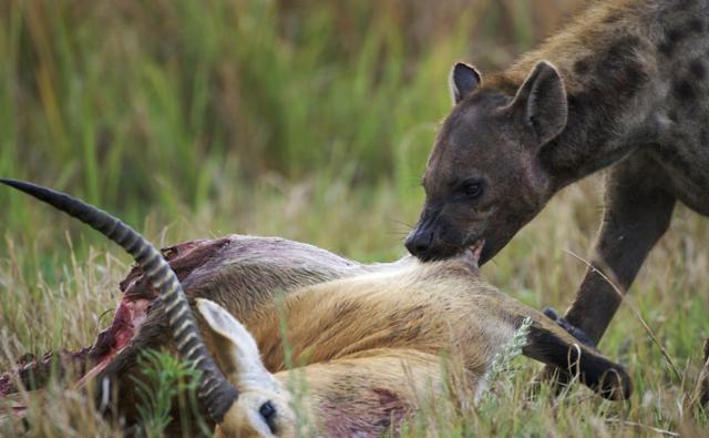 Spotted hyena tearing at an impala carcass