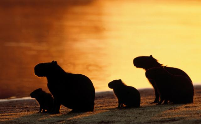 A capybara family sitting near a river at sunset