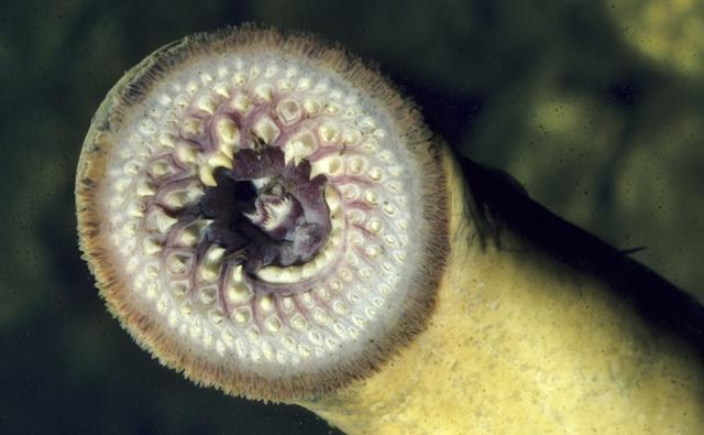 Sea lamprey showing mouth suckers