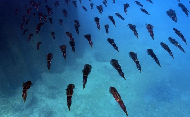 A large group of bigfin reef squid