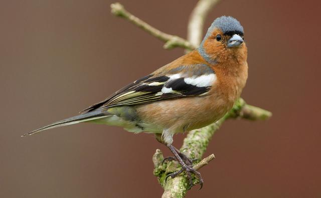 Portrait of a chaffinch perched on a branch (c) Graham Brownlow