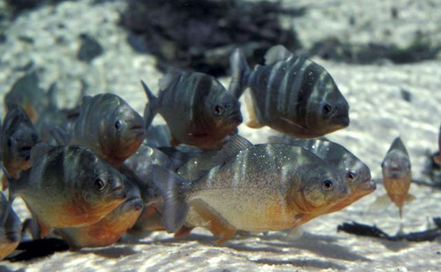 Group of piranha fish in a Brazilian river