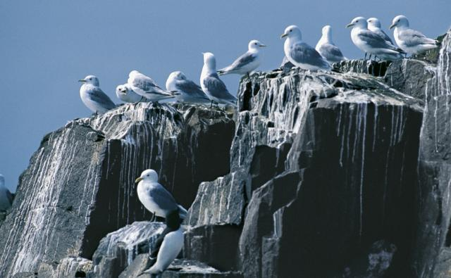 Black-legged kittiwakes at a clifftop colony