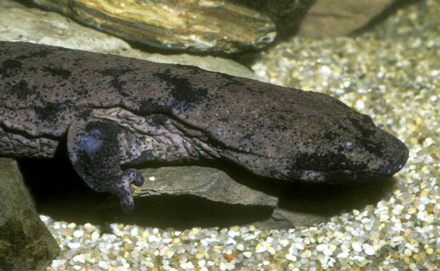 Chinese giant salamnader emerging from amongst underwater rocks