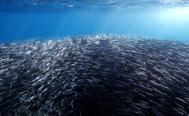 A tightly packed shoal of northern anchovies