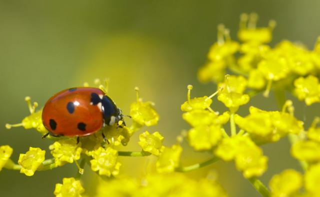 Seven-spot ladybird on fennel flowers