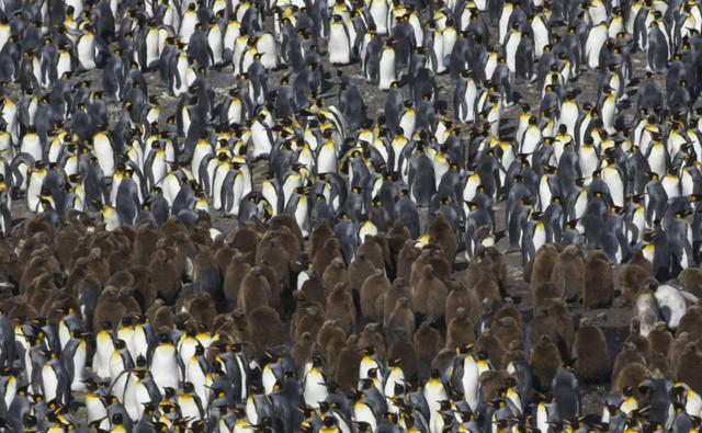 A very crowded colony of king penguins